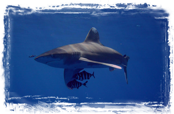 Oceanic White tip