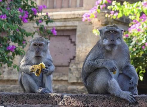 BALI macaque