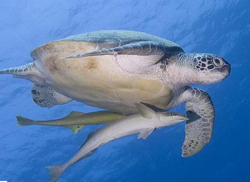 Diving in Manado Turtle