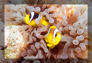 Ocean View Red Sea Clown Fish pair anenome