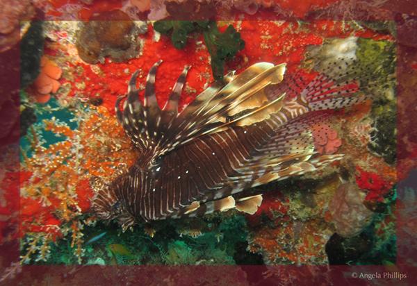 Kudi Giri Lionfish