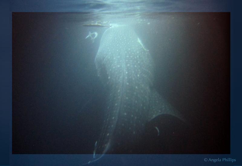Whaleshark underwater