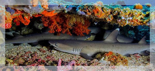 Bangka sharks