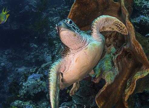 Robs Turtle